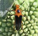 Beetle - Macrosiagon limbata - female