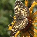 Brownish butterfly with orange and pale spots - Chlosyne nycteis