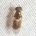 Fly - Cephalochrysa