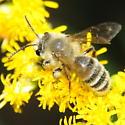 Hairy bee - Andrena hirticincta - male
