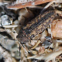 ID for a beetle? - Anambodera