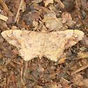 One-spotted Variant Moth - Hodges #6654 - Dorsal - Hypagyrtis unipunctata