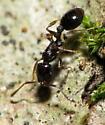 Unknown small black ant - Temnothorax longispinosus