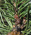 Striped Pine Scale - Toumeyella pini