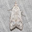 Carposina fernaldana - female
