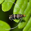 Adela septentrionella - female