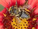 Leafcutter bee  - Megachile albitarsis - female