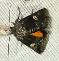 Moth - Copanarta aurea