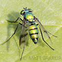 Green Fly - Condylostylus occidentalis - female