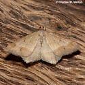 Moth - Psamatodes everiata