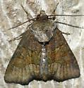 Tawny Marbled Minor #2 - Oligia latruncula