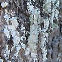 Pale Gray Mantis - Gonatista grisea