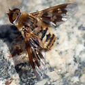 ID for a bee fly? - Thyridanthrax nugator