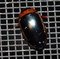 Unknown Predacious Diving Beetle - Hydaticus bimarginatus - Prodaticus bimarginatus