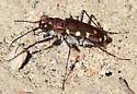 Western Tiger Beetle_Cicindela oregona - Cicindela