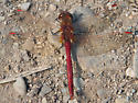 Red Dragonfly - Sympetrum