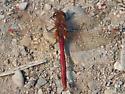 Red Dragonfly - Sympetrum costiferum
