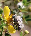 Digger Bee - Centris
