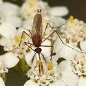 Mosquito - Ochlerotatus stimulans - male