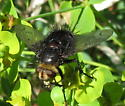 Spiny Fly?  ID please - Pararchytas decisus