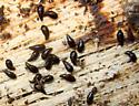 Crab-like Rove Beetles - Coproporus sp. - Coproporus ventriculus