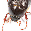 May Beetle - Phyllophaga anxia