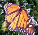 Weary Monarch - Danaus plexippus - male