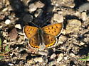Purplish Copper - Lycaena helloides - male