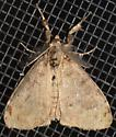 White-marked Tussock Moth - Orgyia leucostigma