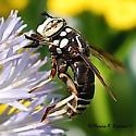 Fly in Hornet Disguise - Spilomyia fusca - female