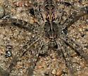 Spider - Dolomedes scriptus