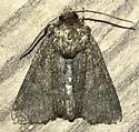 Noctuid - Oligia latruncula