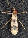 Limoniidae ? - Erioptera venusta
