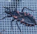black and red bugt - something in Reduviidae? - Triatoma sanguisuga - female