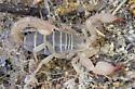 unk scorpion - Uroctonites montereus
