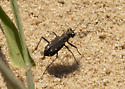 Sand fly? - Cicindelidia ocellata