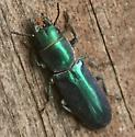 Beetle - Temnoscheila acuta