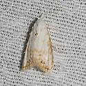 Sorghum Webworm Moth - Hodges#8991 - Nola cereella