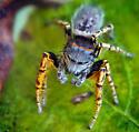 Adult Male Phidippus mystaceus - Phidippus mystaceus - male