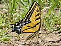 Two-tailed Swallowtail Butterfly (Arizona State Butterfly) - Papilio multicaudatus - male
