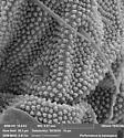 Poduromorpha 12 Plot 116 - Protaphorura