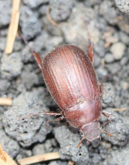 Coleoptera - Serica