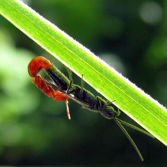Mating pair of Bethylidae wasps - Pristepyris - male - female