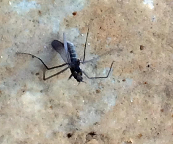 Fly with long legs climbing up the cliff, falls but continues on - Telmatogeton japonicus