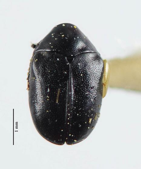 Orphilus subnitidus? - Orphilus subnitidus