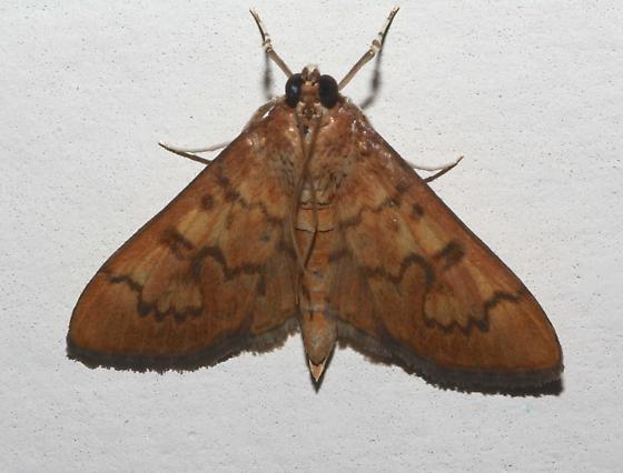 Psara dryalis