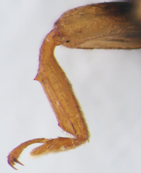 Coccinellidae, Ursine Spurleg Lady Beetle, foreleg spine - Brachiacantha ursina