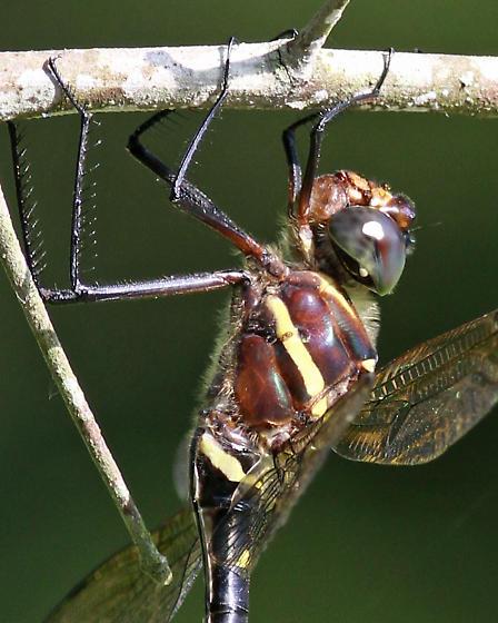 Large Dragonfly - Macromia taeniolata