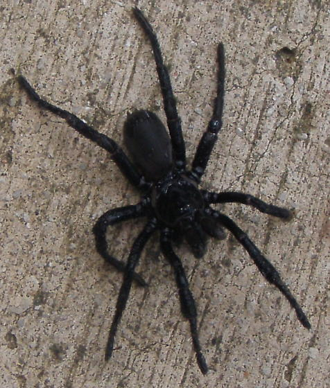 What type of spider is this? - Eucteniza relata