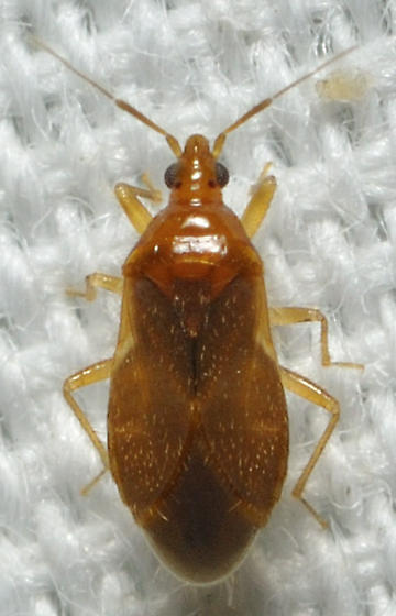 Orange bug with yellow legs
